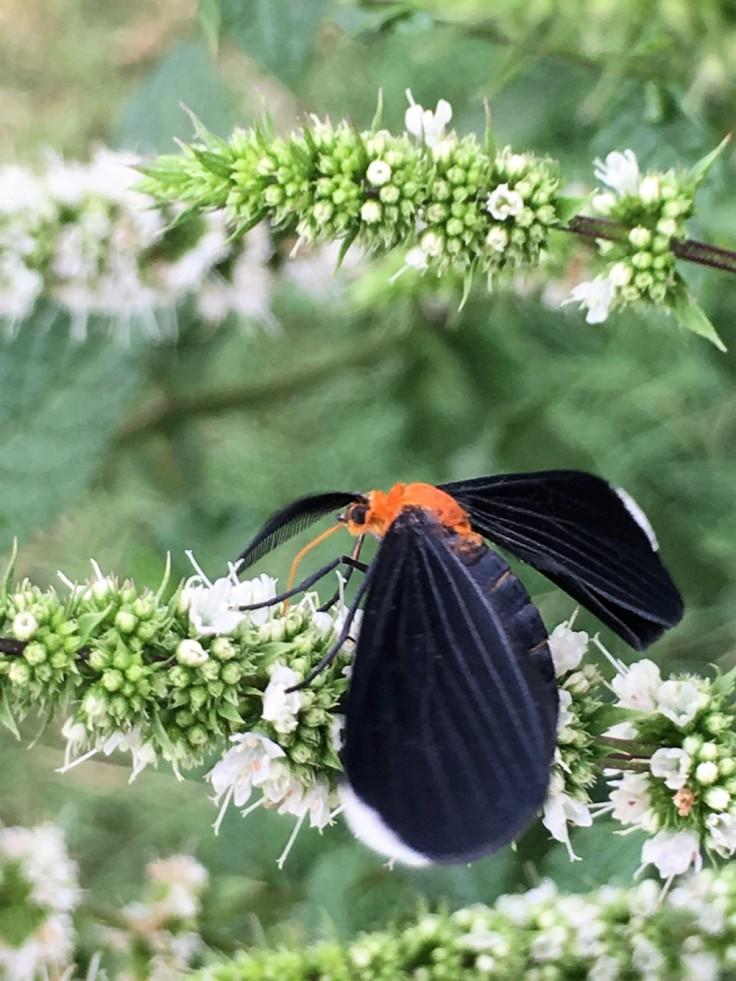 black_winged_moth